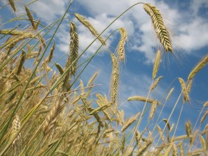 Getreide | Quelle: Pixabay